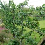 Fences of Fruit Trees