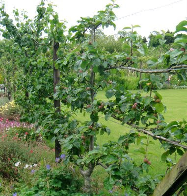 fences of fruit trees